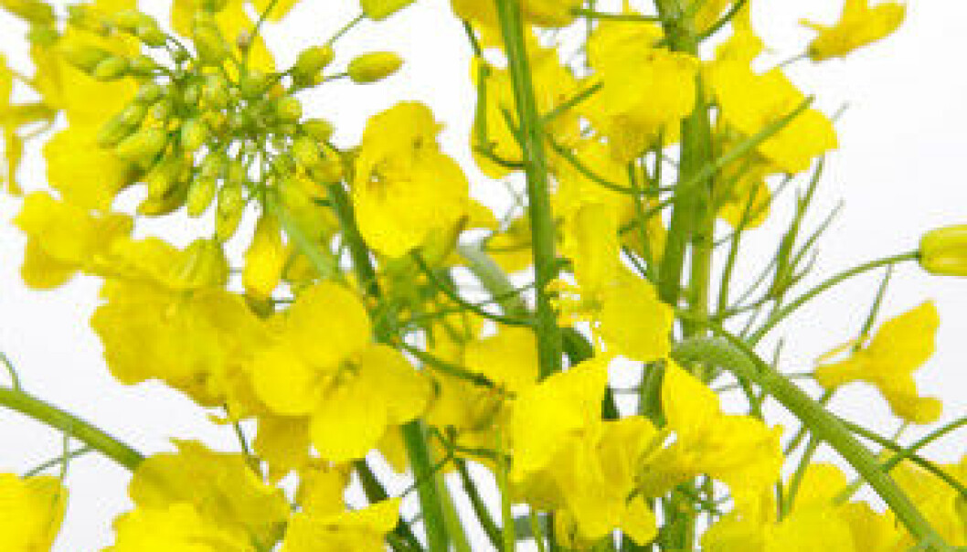 The canola plant produces toxic substances, as defence against insects. (Photo: Colourbox)