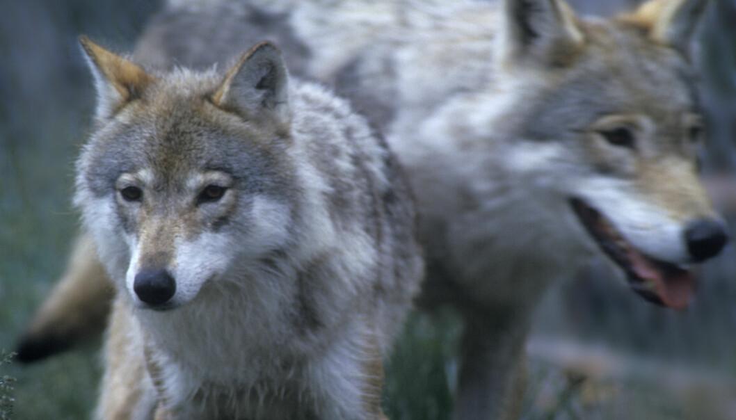 Hva folk jobber med og hvilke hobbyer de har spiller inn på hvordan de opplever ulv og andre rovdyr. Disse ulvene befinner seg trygt bak gjerdet på Langedrag. (Foto: Per Løchen, NTB scanpix)