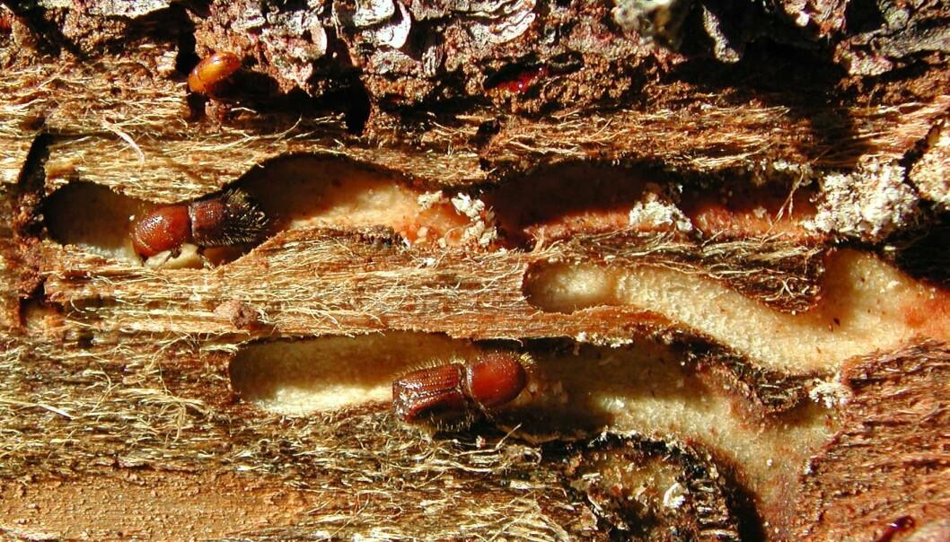 Avtrykk av granbarkbillens gangsystem på vedoverflaten. Når billene angriper trær med tynn bark legger de gangene så dypt at de furer veden. Vanligvis ligger hele gangsystemet i barken. Larvene utvikler seg i dette gangsystemet og forlater det når de er ferdig utviklet. (Foto: Bjørn Økland)