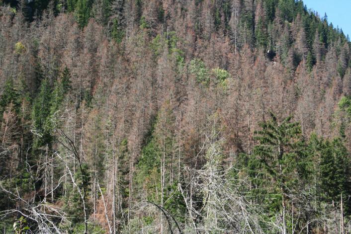 Barkbilleutbrudd i Tatrafjellene i Slovakia i 2007. (Foto: Bjørn Økland)