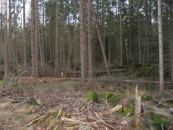 Vindfall etter storm i Sverige. (Foto: Paal Krokene, Skog og landskap)