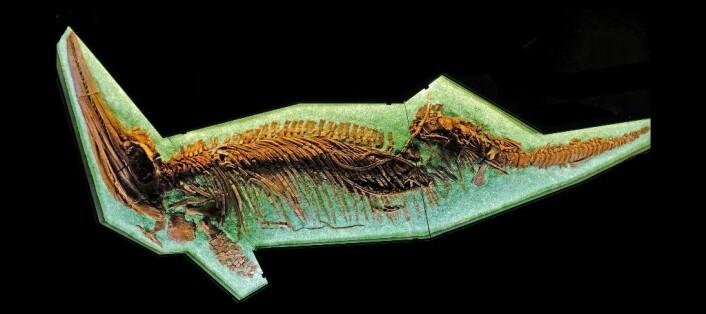 Det fineste og best bevarte av alle de marine øglene som Jørn Hurum har funnet, er den fem og en halv meter lange fiskeøgla «Gamla», som nå står utstilt på Naturhistorisk museum på Tøyen. Den må ha veid rundt tre tonn.  (Foto: Jørn Hurum)