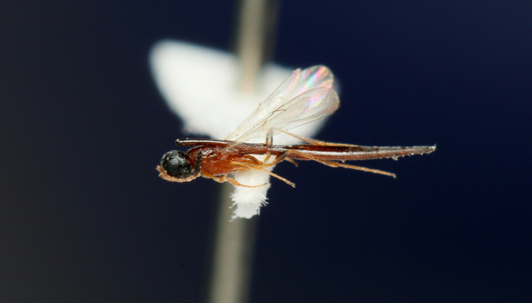 Den nye arten har ein særmerkt utvekst frå bakkroppen og fram over hovudet. (Foto: César Favacho, Museu Goeldi)