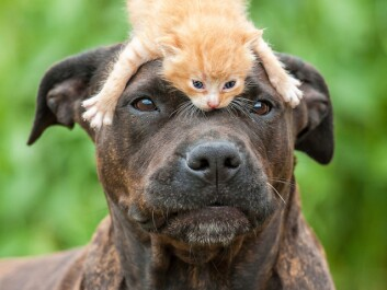 American Staffordshire terriers, also known as Amstaffs, with little kitten on its head. (Photo: Microstock)