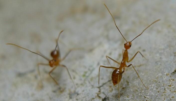 Crazy ant har fått navnet sitt på grunn av måten den beveger seg på når den blir forstyrret.  (Foto: John Tann, Wikimedia Commons)