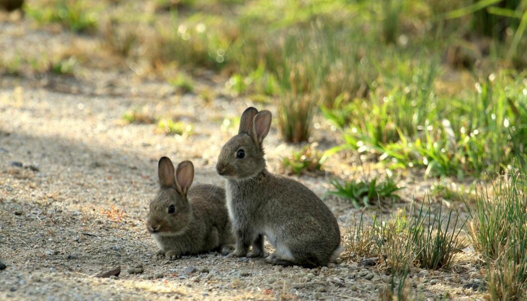 Kaninene invaderte Australia, snauspiste kontinentet og utryddet nesten pungdyrene (Illustrasjonsfoto: Microstock)