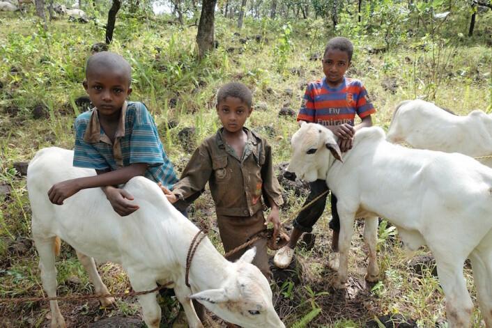 De yngste gutten setter de yngste kalvene i bånd for å få hindre dem i å die mødrene. (Foto: Trond Waage)