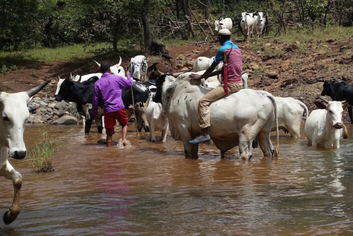 Vanning av dyrene er en manndomsprøve. (Foto: Trond Waage)