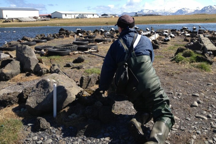 Fuglevokter Smári Lúðvíksson fanger og merker ærfuglene i kolonien sin på Ríf på Island. (Foto: Thomas Holm Carlsen)