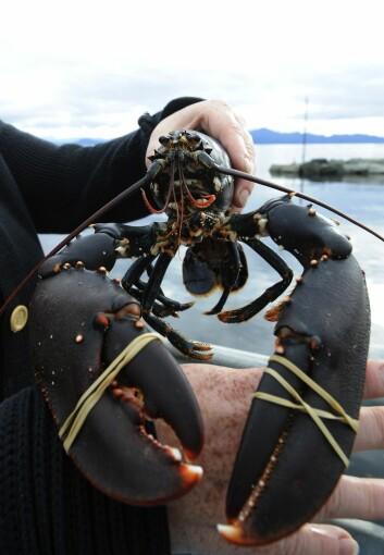Europeisk og amerikansk hummer er forholdsvis like. Dette eksemplaret ble fanget i 2008 og fotografert i Bergen og er forhåpentligvis en europeisk hummer.  (Foto: Marit Hommedal, NTB scanpix)