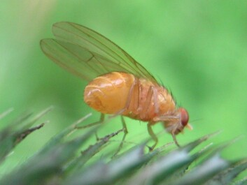 A wild fruit fly. (Photo: Wikimedia Commons, free license)