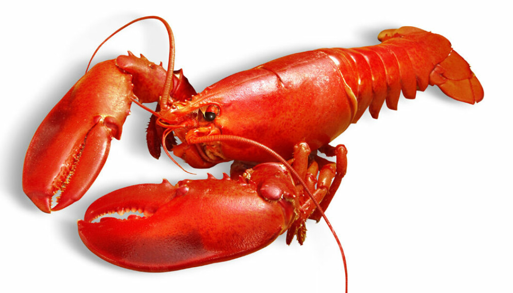 American lobster is an introduced species in Norway (Photo: Colourbox)