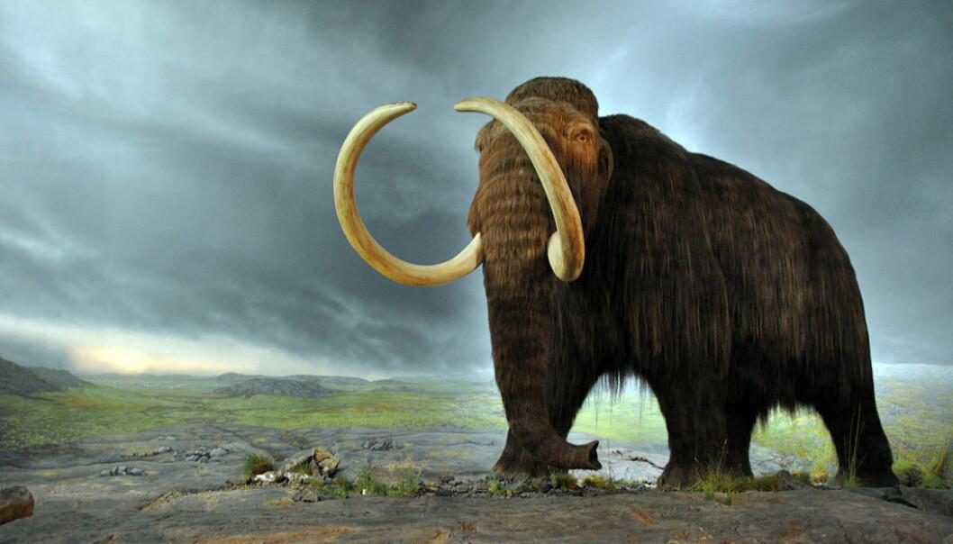 Mammut ved utstillingen til Royal British Columbia Museum i Canada. Mammuten levde over nesten hele Nord-Asia, Europa og deler av Nord-Amerika. (Foto: Flying Puffin/CC BY-SA 2-0)