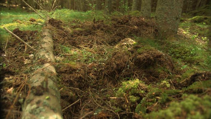 Slik ser det ut i skogen etter at et villsvin har rota etter mat. (Foto: Per Ingvar Rognes, NRK)