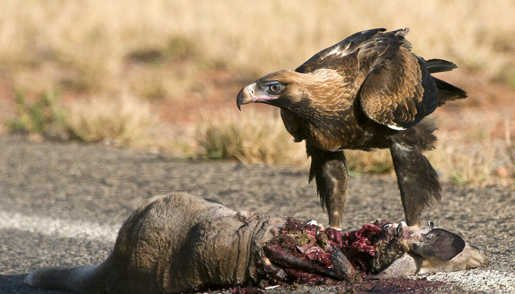 Kan man spise et kadaver?