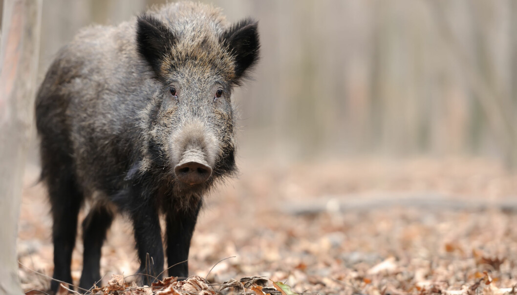 Villsvin kan bli et vanlig innslag i den norske faunaen. (Illustrasjonsfoto: Microstock)