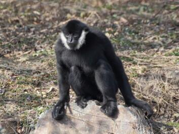 Moderne gibbon. (Illustrasjonsfoto: Microstock)