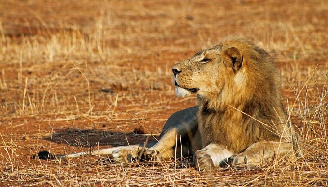 Løver er i ferd med å forsvinne fra store deler av Afrika. Forskere etterlyser større budsjetter for å ivareta de store kattedyrene.   (Foto: Pius Mahimbi/Flickr)