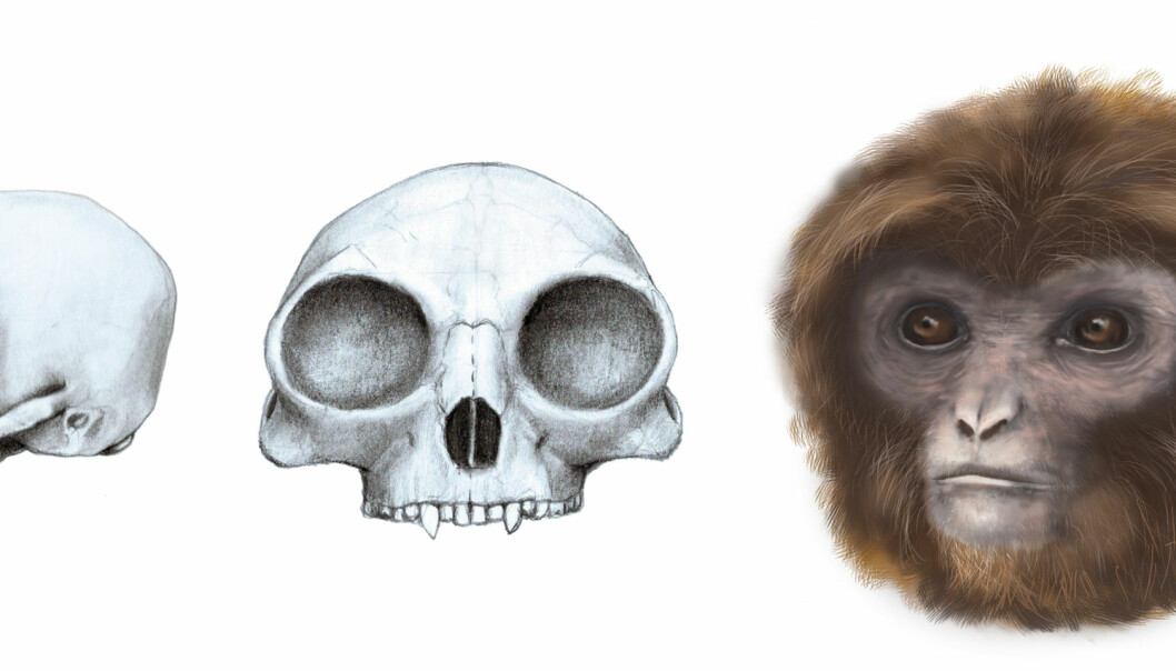 Slik har den nye primaten, Pliobates, trolig sett ut. Ifølge forskerne skal den ha vært svært lik moderne gibboner. (Illustrasjon: Marta Palmero  Institut Català de Paleontologia Miquel Crusafont (ICP))