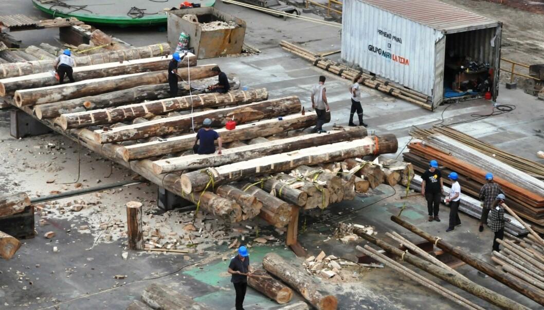 På en marinebase i Lima i Peru er båtbyggerne i ferd med å ferdigstille to flåter i balsatre. 1. november er Kon-Tiki 2-ekspedisjonen klar for å seile i Thor Heyerdahls fotspor. Tur-retur Påskeøya.  (Foto: Kon-Tiki 2)