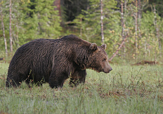 The bear knows no borders