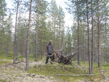 Hair traps consist of one barbed wire stretched to a square between four trees, and in the middle, there is a so-called non-rewarding liquid lure. Meaning, the trap does not contain any food or proteins, just an interesting smell to make the bear curious. The lure consists of one and a half litres oily fluid fermented fish guts and bones mixed with oxidised blood from cattle. To enter the trap and investigate the scent, the bear has to crawl under or over the barbed wire, depending on its size. In doing so, some of its hair is caught in the wire. (Photo: Alexander Kopatz)