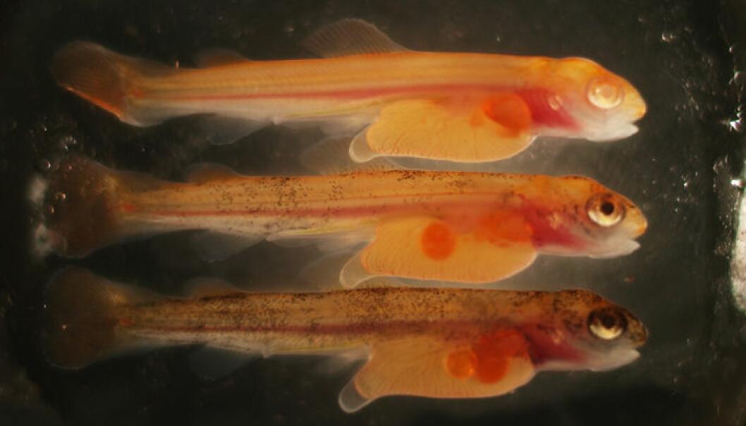 Bildet viser fire månader gammal lakseyngel. I den øvste fisken er albinogenet fullstendig øydelagt. I de to andre fiskane er albinogenet berre øydelagt i ein del celler og derfor er de delvis pigmentert. (Foto: Anna Wargelius/IMR)