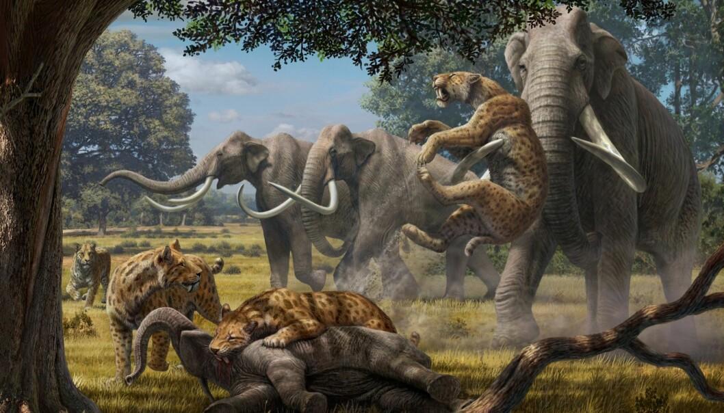 En flokk med sabeltannkatter (Smilodon) har felt en mammutunge, men får en smule bank av mamma eller pappa. En ny analyse antyder at superrovdyra i Pleistocen faktisk kunne få has på unger og unge voksne individer av selv de største planteeterne. (Illustrasjon: Mauricio Anton)