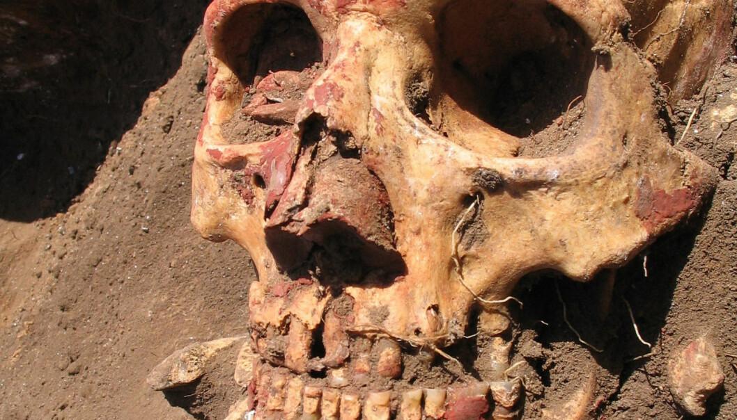 En bronsealderskalle fra Yamnaya-kulturen i Sentral-Asia. Yamnaya utviklet seg senere til Afanasievo-kulturen, en av kulturene som hadde de tidlige utgavene av pestbakterien Yersinia pestis.  (Foto: Rasmussen et al./Cell 2015)