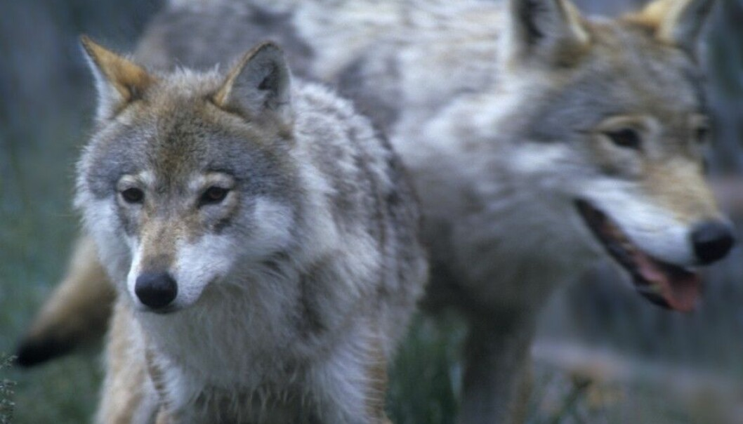 The new study shows that people's views on the wolf, and animals with which they are considered to be in conflict, depend on their knowledge, experience, livelihoods and local environment. (Photo: Per Løchen, NTB Scanpix)