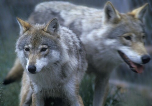 Researchers: facts alone are not enough in the debate about wolves