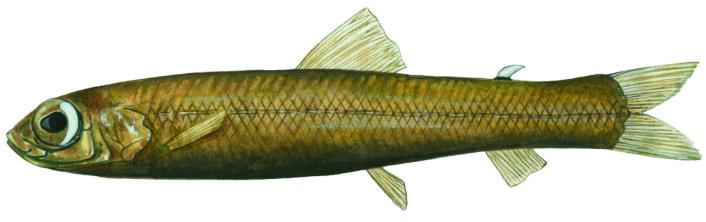 Tegningen viser den nyfunne fiskearten «nordlig tykkhalet blyantkrøkle».  (Foto: (Illustrasjon: Januar Yde Poulsen) )