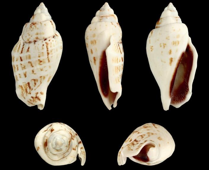 Skallet til en <em>Gibberulus gibberulus gibbosus</em>. (Foto: H. Zell, Creative Commons 3.0)