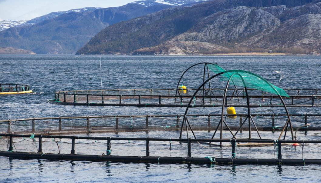 Hvert år blir 12 000 tonn fosfor tilført oppdrettsanlegg gjennom fiskefôret. (Illustrasjonsfoto: Microstock)