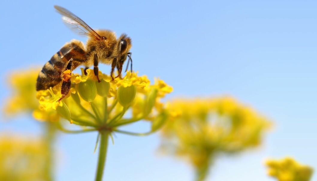 Hva skjer når biene forsvinner? (Illustrasjonsfoto: Microstock)