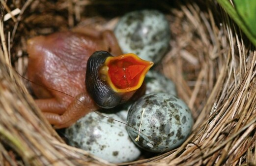 Why some cuckoos have blue eggs