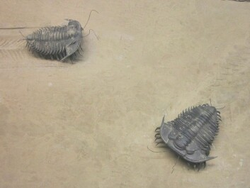 Trilobites at the World Museum in Liverpool, England. (Photo: Rept0n1x, Creative Commons BY-SA 3.0)