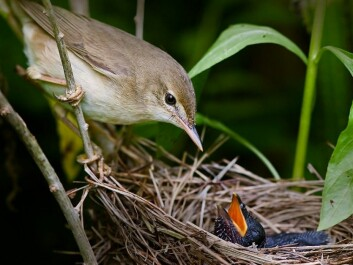 This marsh warbler has a cuckoo chick in its nest. It was undoubtedly unable to differentiate between the cuckoo egg and the rest of the eggs in its nest. (Photo: Per Harald Olsen, NTNU)