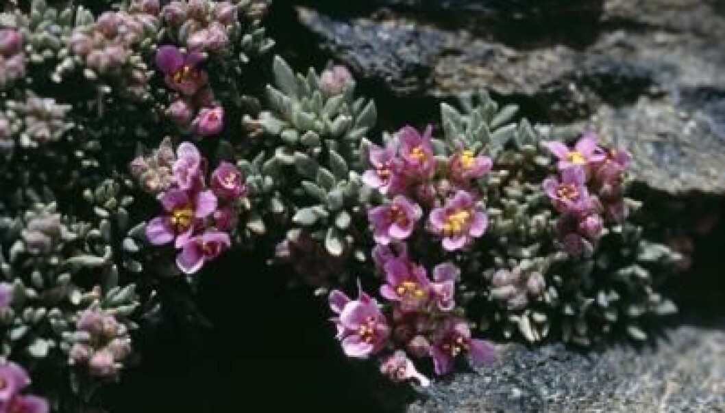This alpine species (Nevadensia purpurea) could disappear from some European mountains in the next few decades. (Photo: Harald Pauli)
