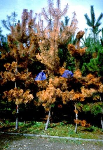 Furutrær drept av furuvednematode i Japan.  (Foto: Foto: Christer Magnusson, NIBIO)