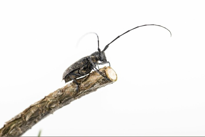 Furukronebukk (Monochamus galloprovincialis) og andre Monochamus-arter er vanlige biller som lever på bartrær. Disse kan være bærere av furuvednematoden. (Foto: Erling Fløistad, NIBIO)