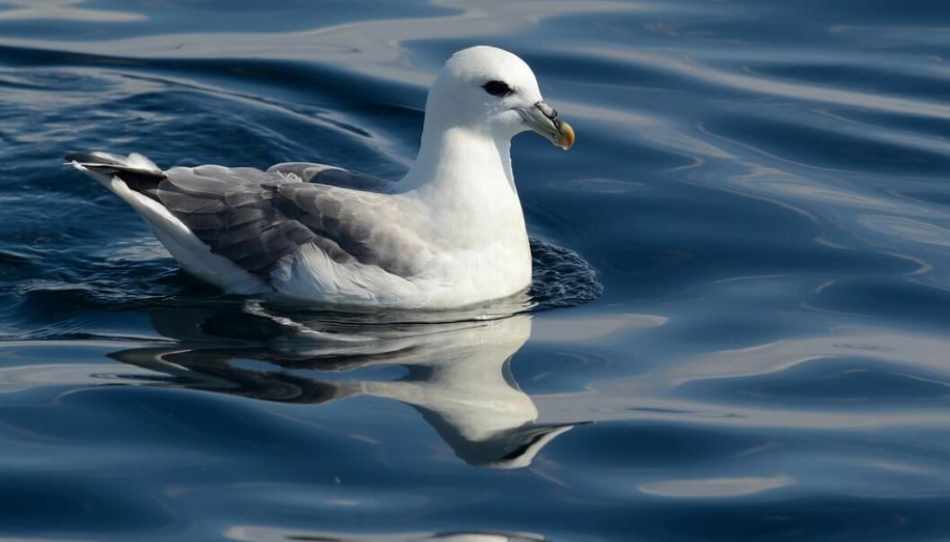 Fulmars (Fulmarus glacialis) spend most of their time on the open sea, where they feed on fish, crustaceans and other food near the surface. Thus, they can easily confuse litter with food. (Photo: Tycho Anker-Nilssen / NINA.)