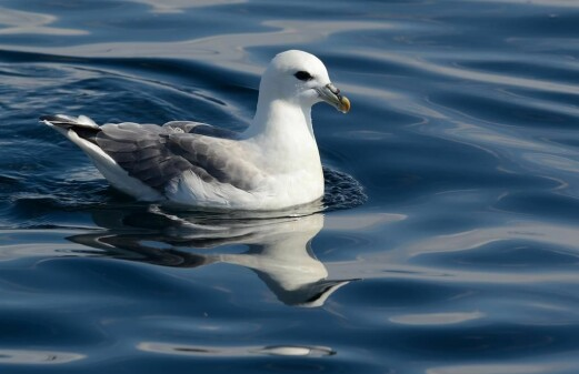 Seabirds are contaminated more by food than microplastics