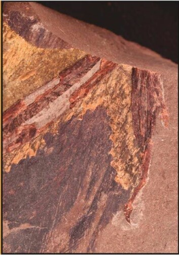 Dette fossilet er en 125 millioner år gammel høyrevinge. (Foto: Guillermo Navalón, University of Bristol, UK)