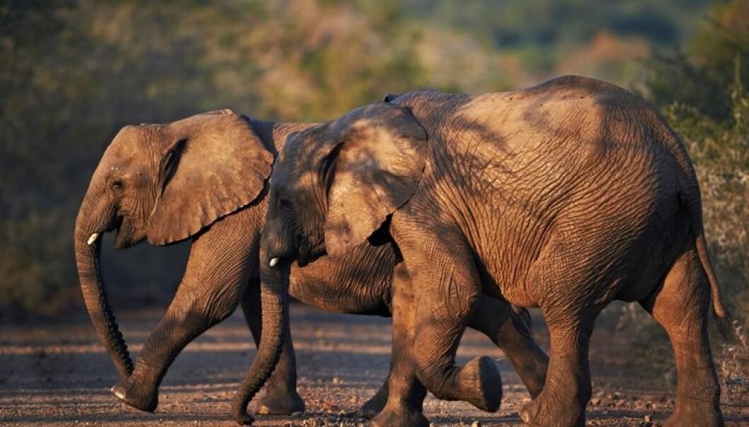 Elefanter har hundre ganger så mange celler som oss mennesker, noe som skulle tilsi at arten er mer utsatt for kreft. Men det er ikke tilfelle, viser det seg. Hvorfor ikke? (Foto: Colourbox)