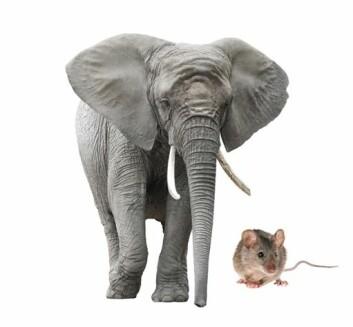 Hjertet til en elefant slår omtrent like mange ganger som hjertet til en mus i løpet av livet. (Illustrasjonsfoto: Microstock)