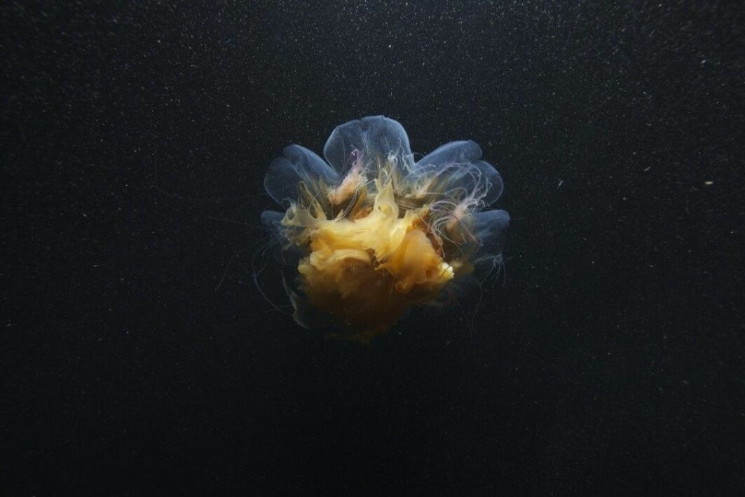 All kinds of creatures are active in the polar night. The photo shows a lion's mane jellyfish.