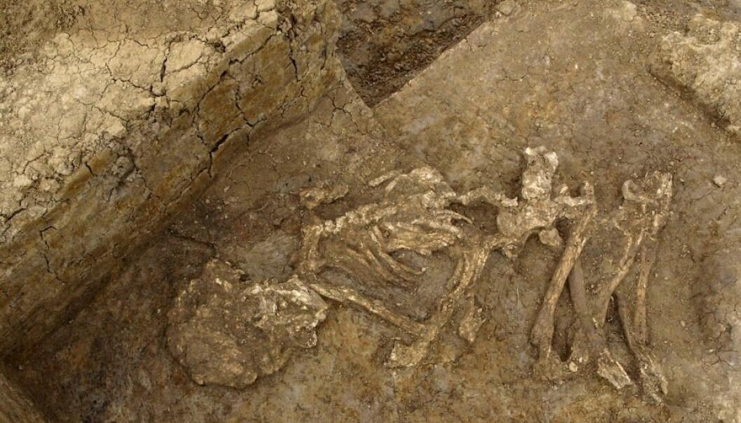 En av kroppene som sannsynligvis ble mumifisert av de tidlige britene. Klimaet på de britiske øyene passer ikke særlig bra til å bevare kropper, men forskerne leter etter mumifiseringsspor. (Foto: Cambridge Archeological Unit)