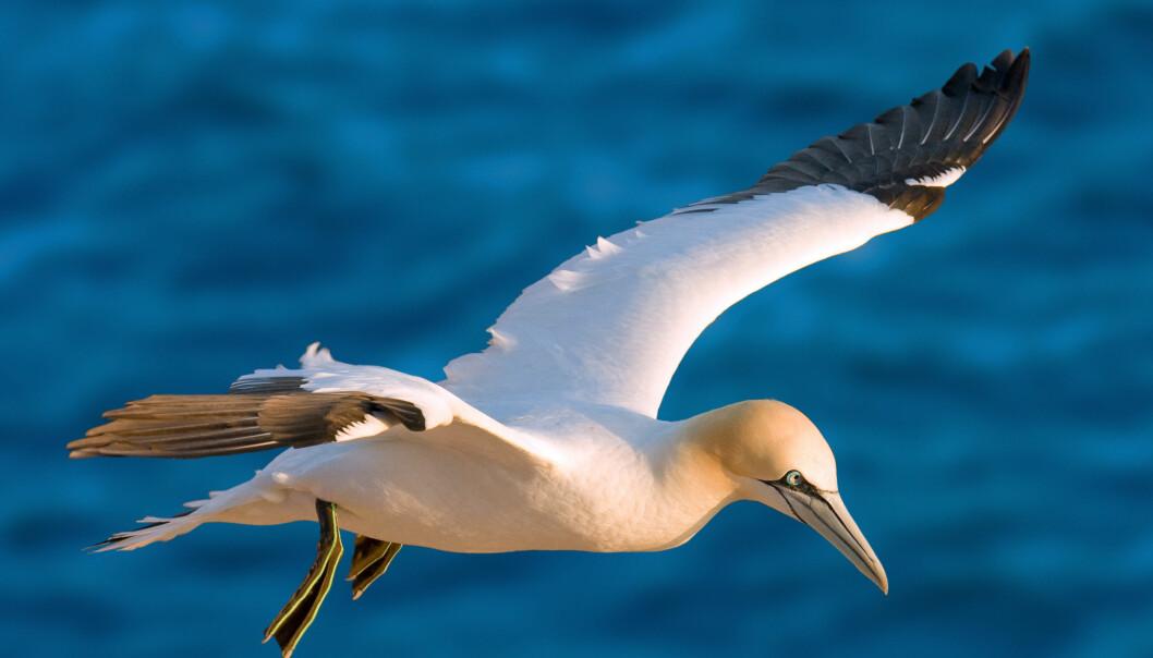 Farlige vindmøller for fugler