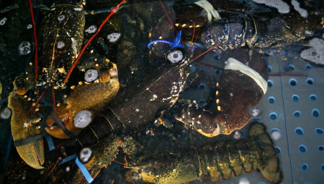 Det har de senere årene kommet nye, strengere regler for hummerfisket, men så langt er det ifølge forskerne ingen tegn til at dette har hjulpet på bestanden.  (Illustrasjonsfoto: Anette Karlsen, NTB scanpix)